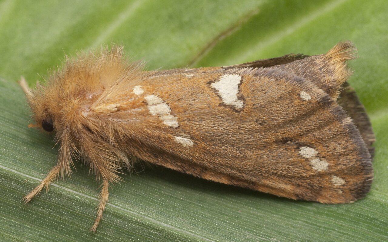 Phymatopus-hecta-0885.jpg