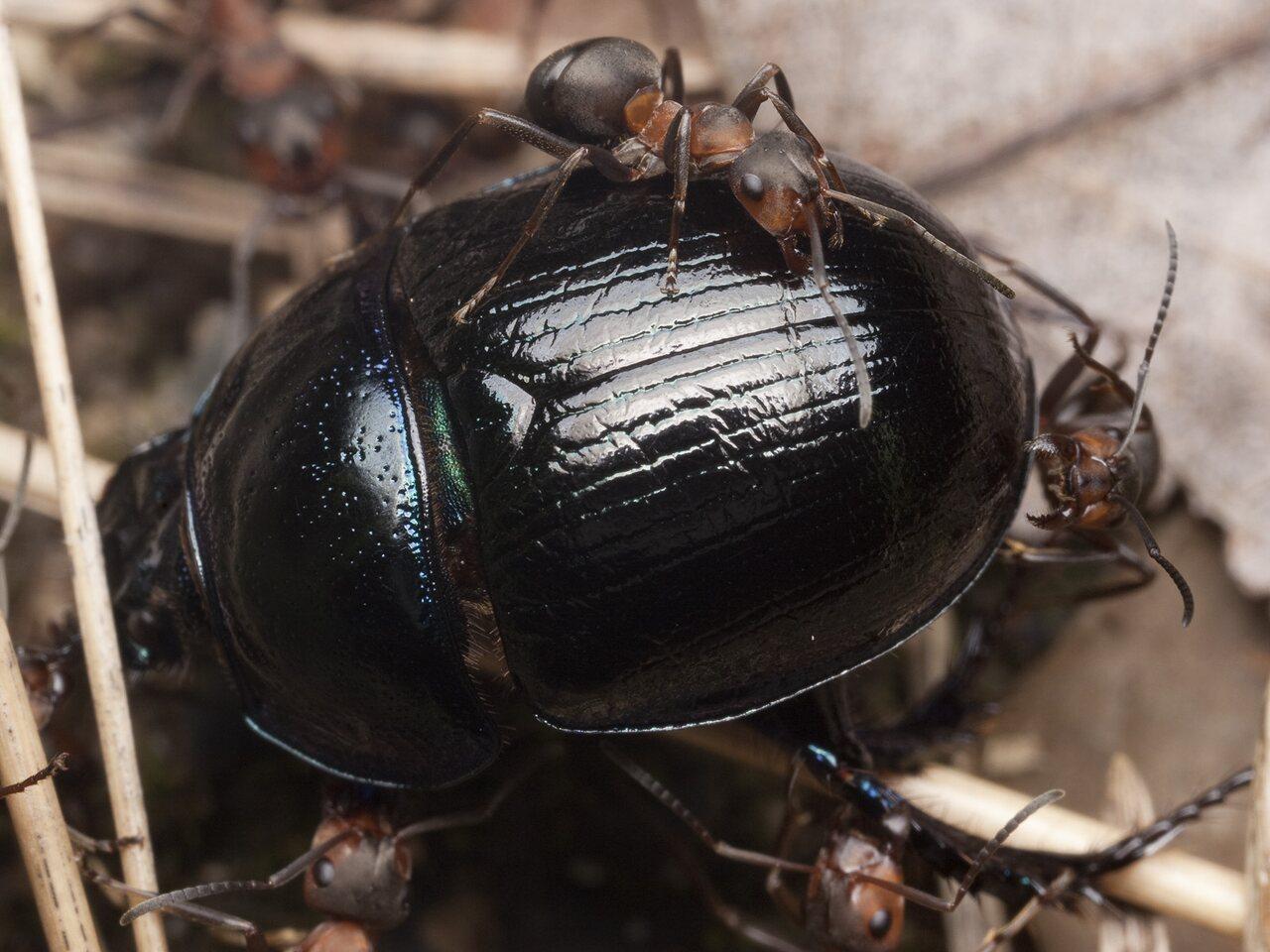 Formicidae-0897.jpg