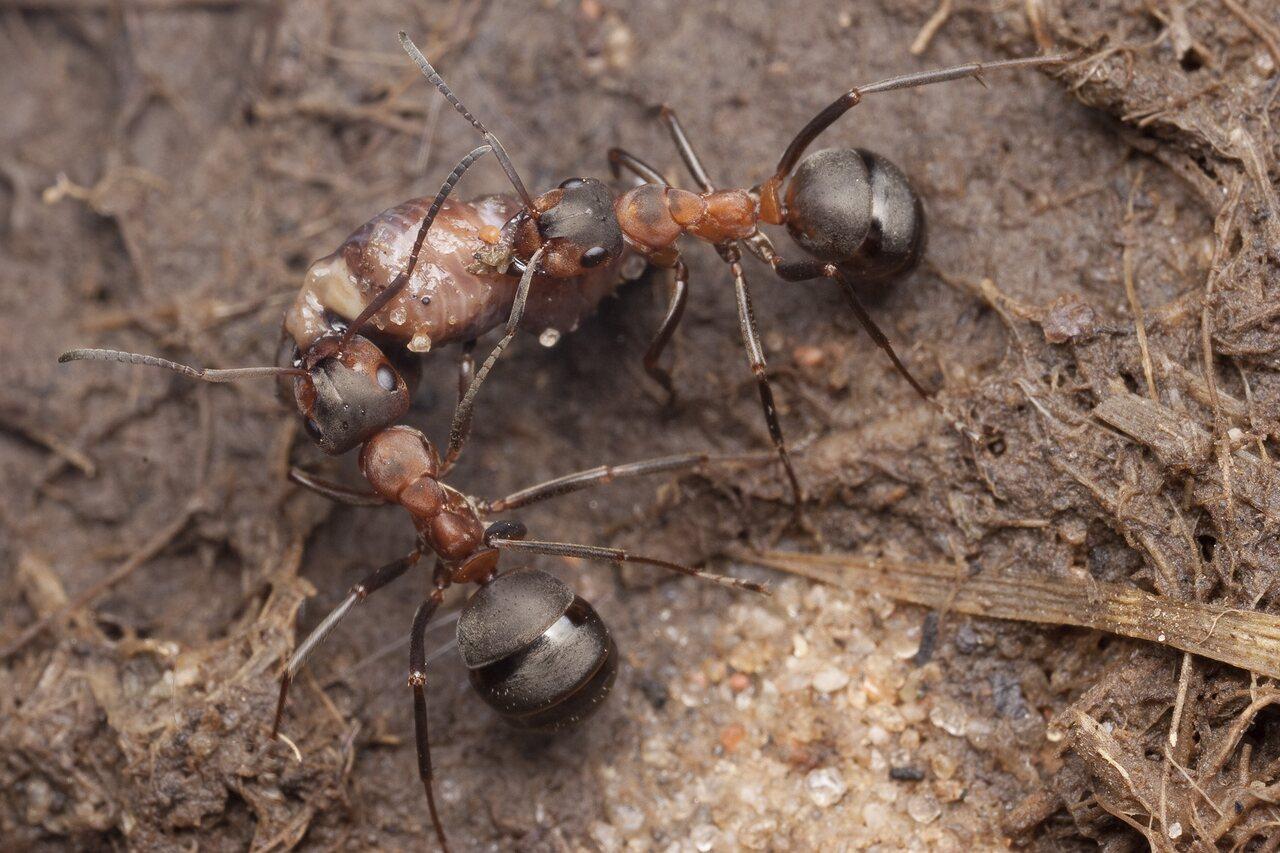 Formicidae-0901.jpg