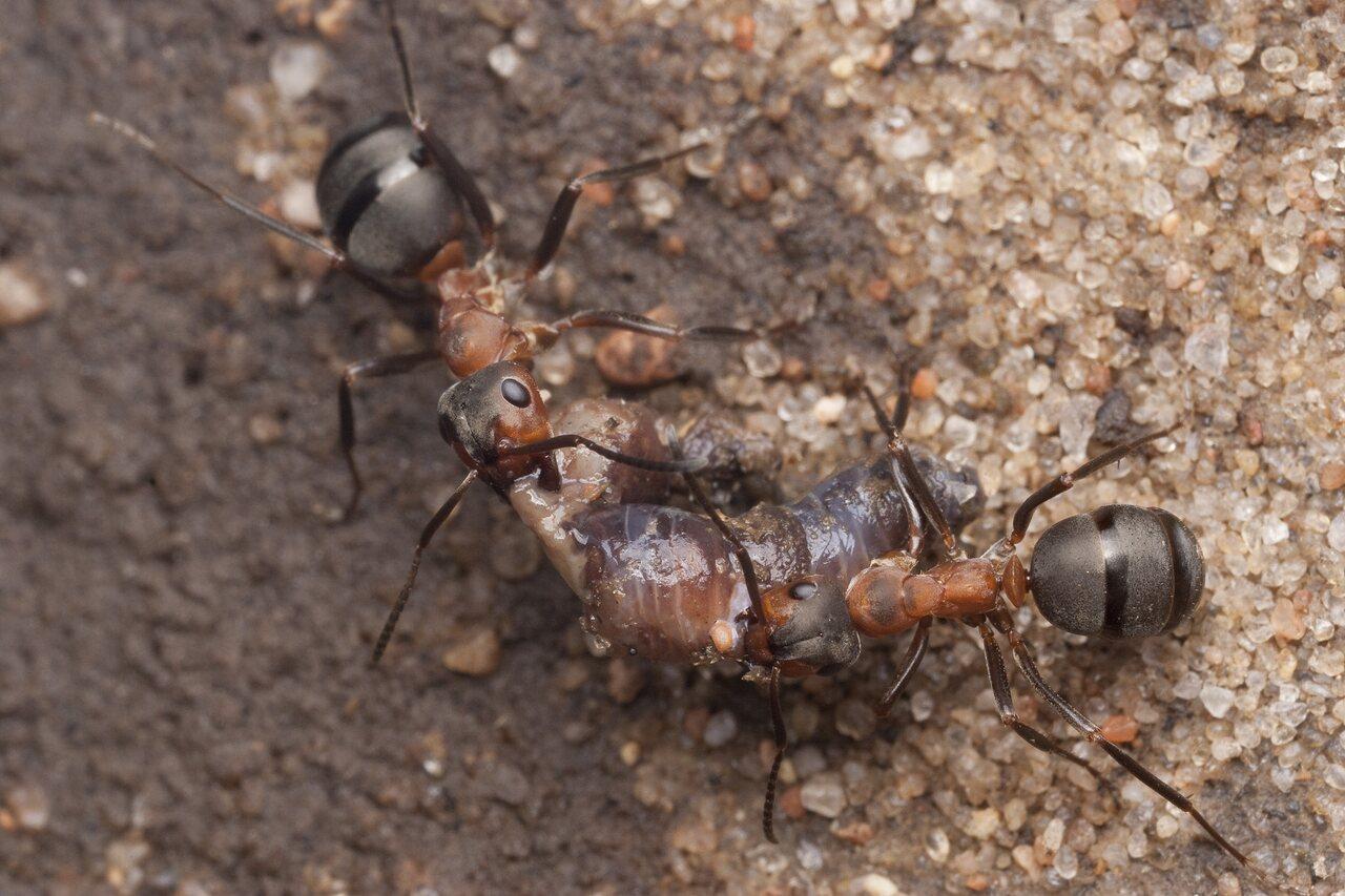Formicidae-0902.jpg