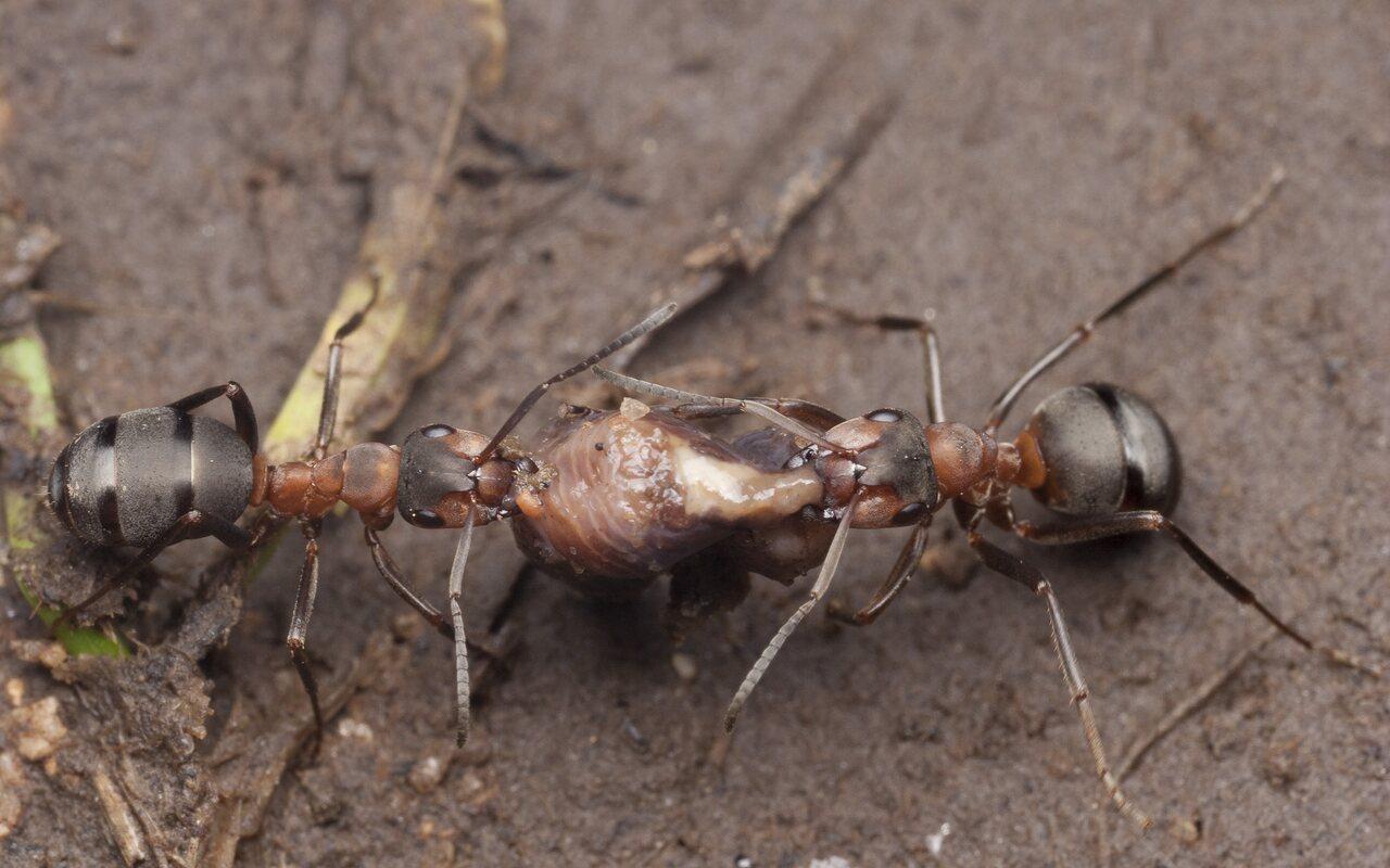 Formicidae-0903.jpg