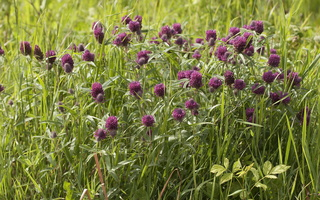 Trifolium alpestre · alpinis dobilas