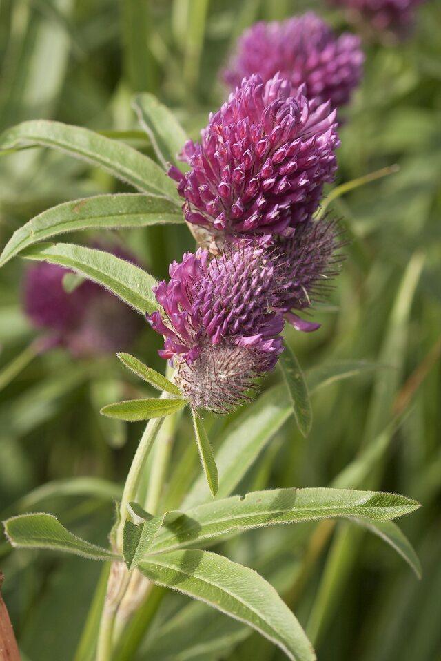Trifolium-alpestre-0925.jpg
