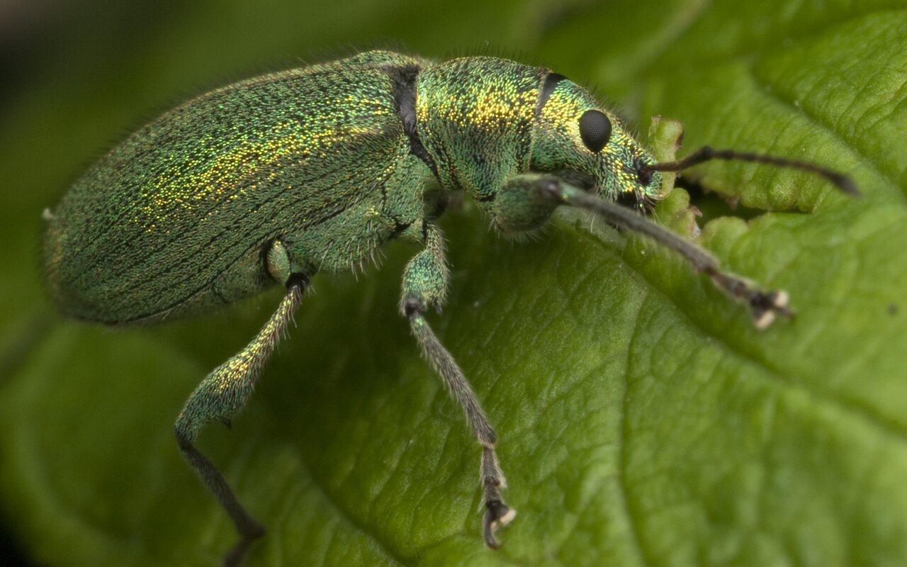 Curculionidae-0959.jpg