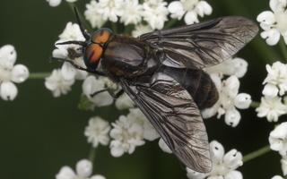 Tabanidae male · sparva ♂