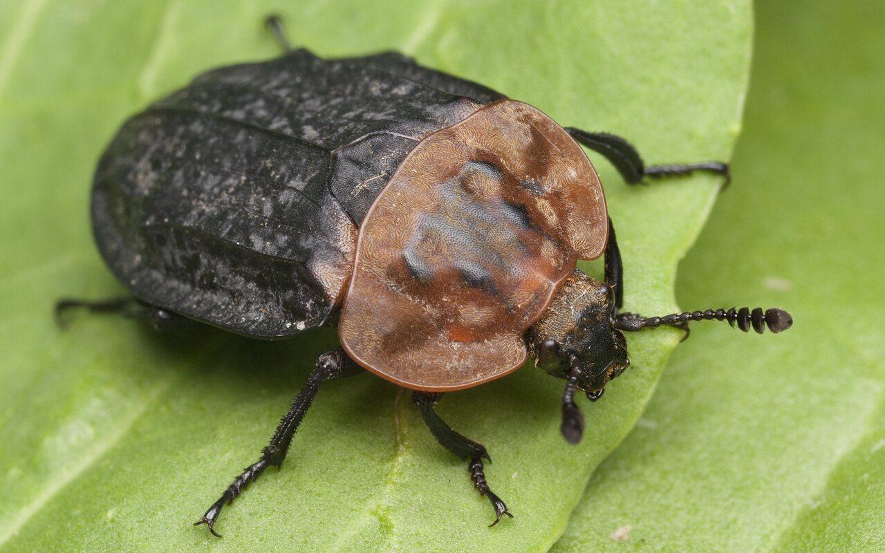 Oiceoptoma-thoracicum-0997.jpg