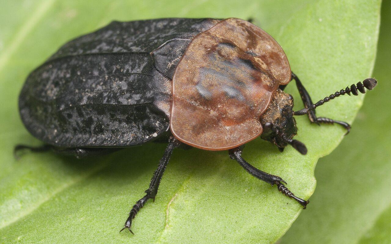 Oiceoptoma-thoracicum-0999.jpg