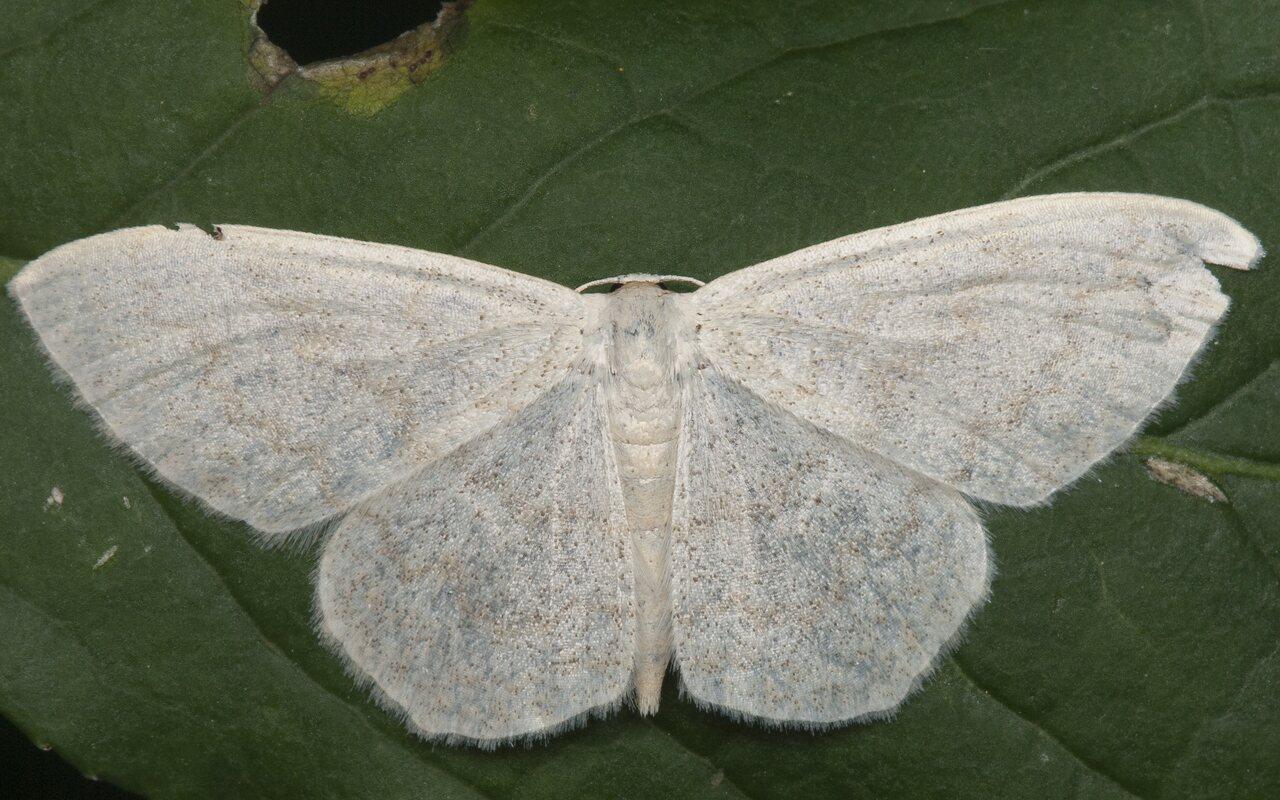 Scopula-floslactata-1000.jpg