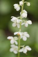 Pyrola rotundifolia · apskritalapė kriaušlapė