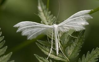 Pterophorus pentadactyla · baltasis pirštasparnis