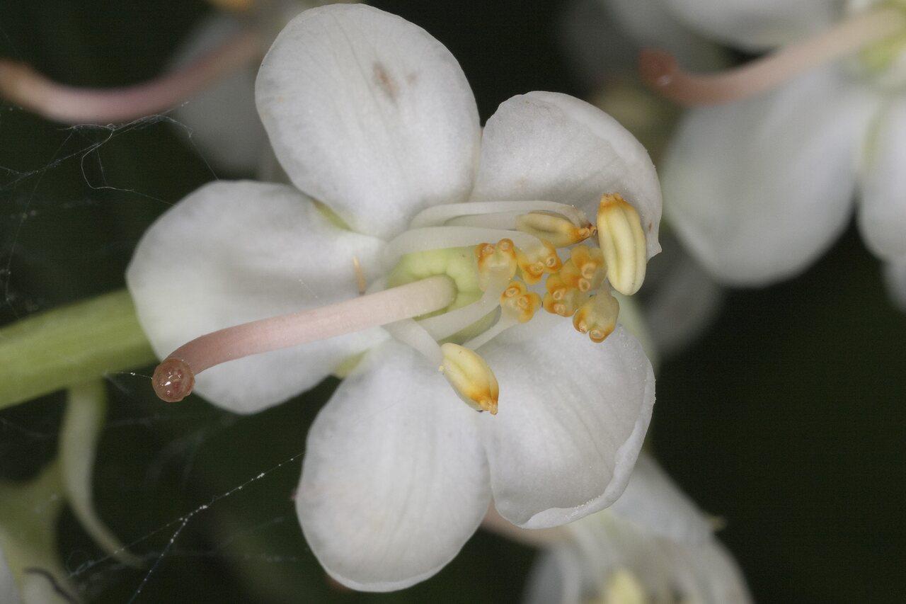 Pyrola-rotundifolia-1017.jpg