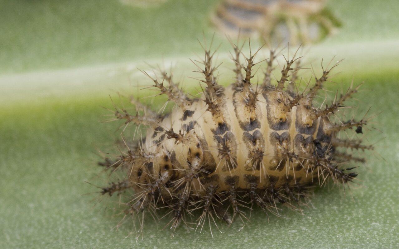 Subcoccinella-vigintiquatuorpunctata-1019.jpg