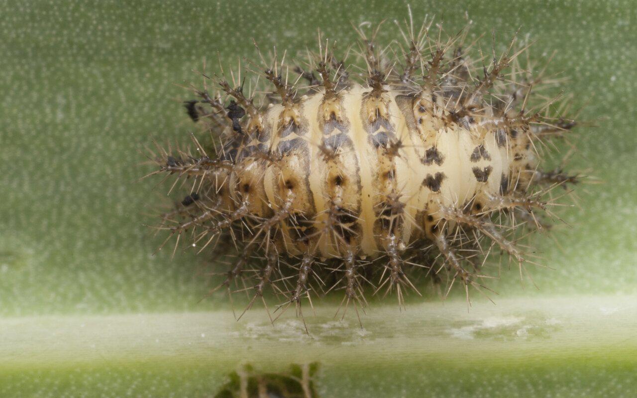 Subcoccinella-vigintiquatuorpunctata-1020.jpg