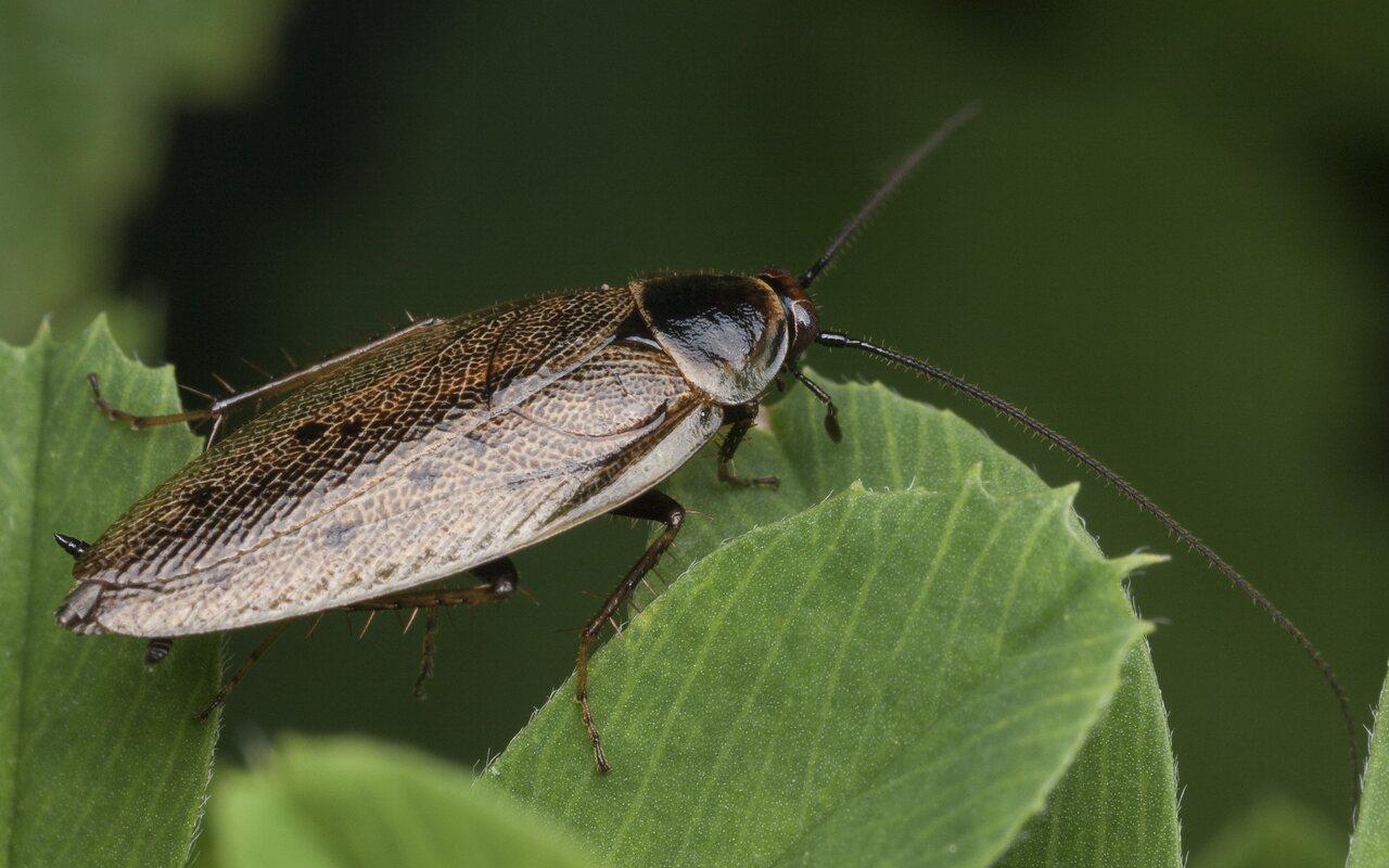 Ectobius-lapponicus-1023.jpg
