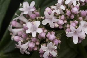 Valerianaceae · valerijoniniai