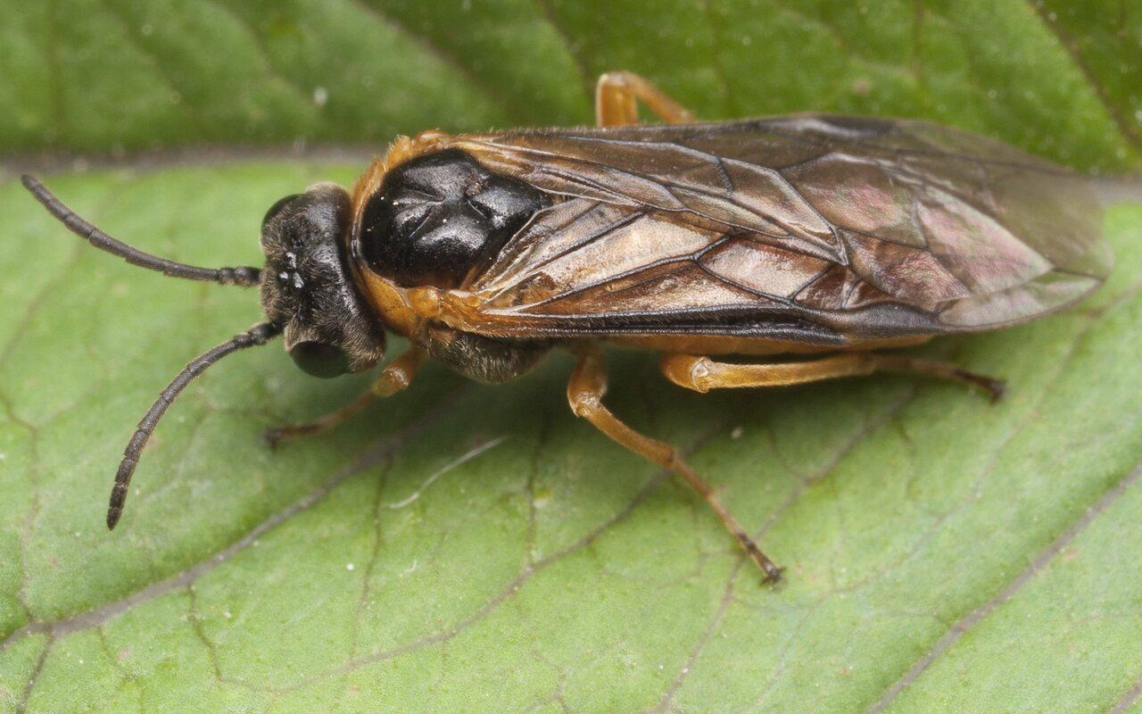 Hymenoptera-1032.jpg
