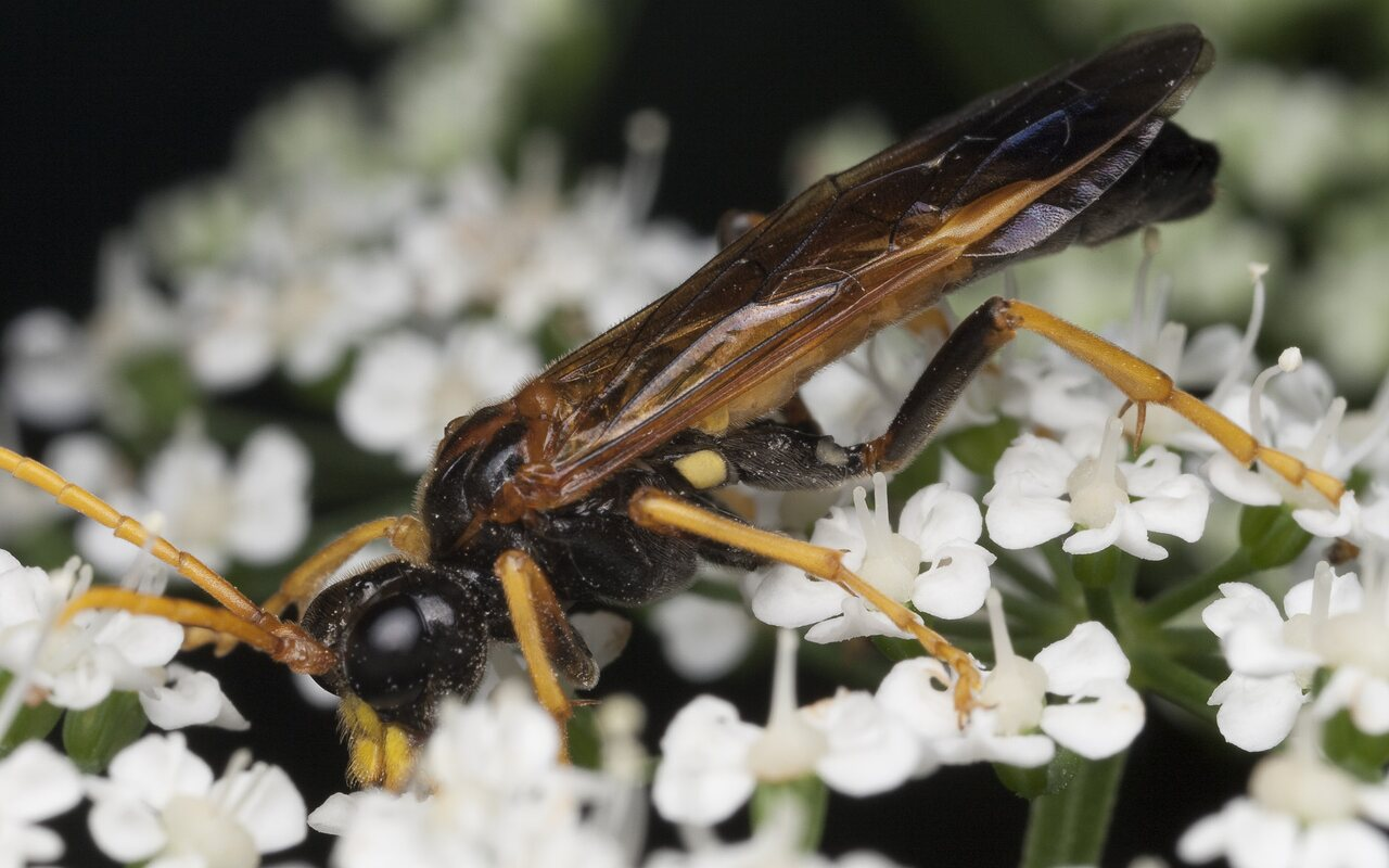 Hymenoptera-1038.jpg