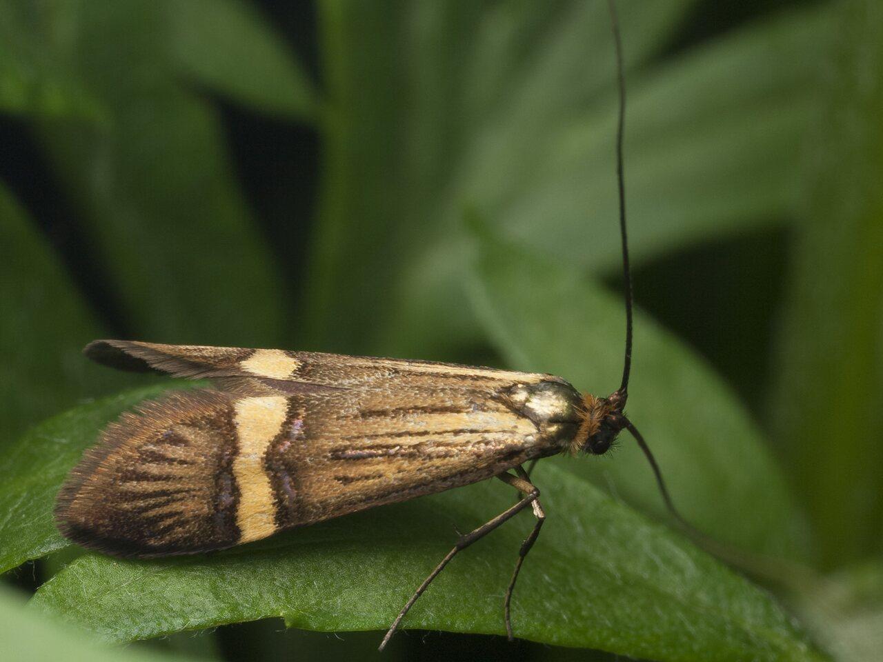 Nemophora-degeerella-1043.jpg