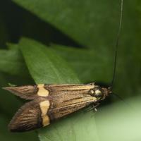 Nemophora degeerella · auksadryžė ilgaūsė makštinė kandis