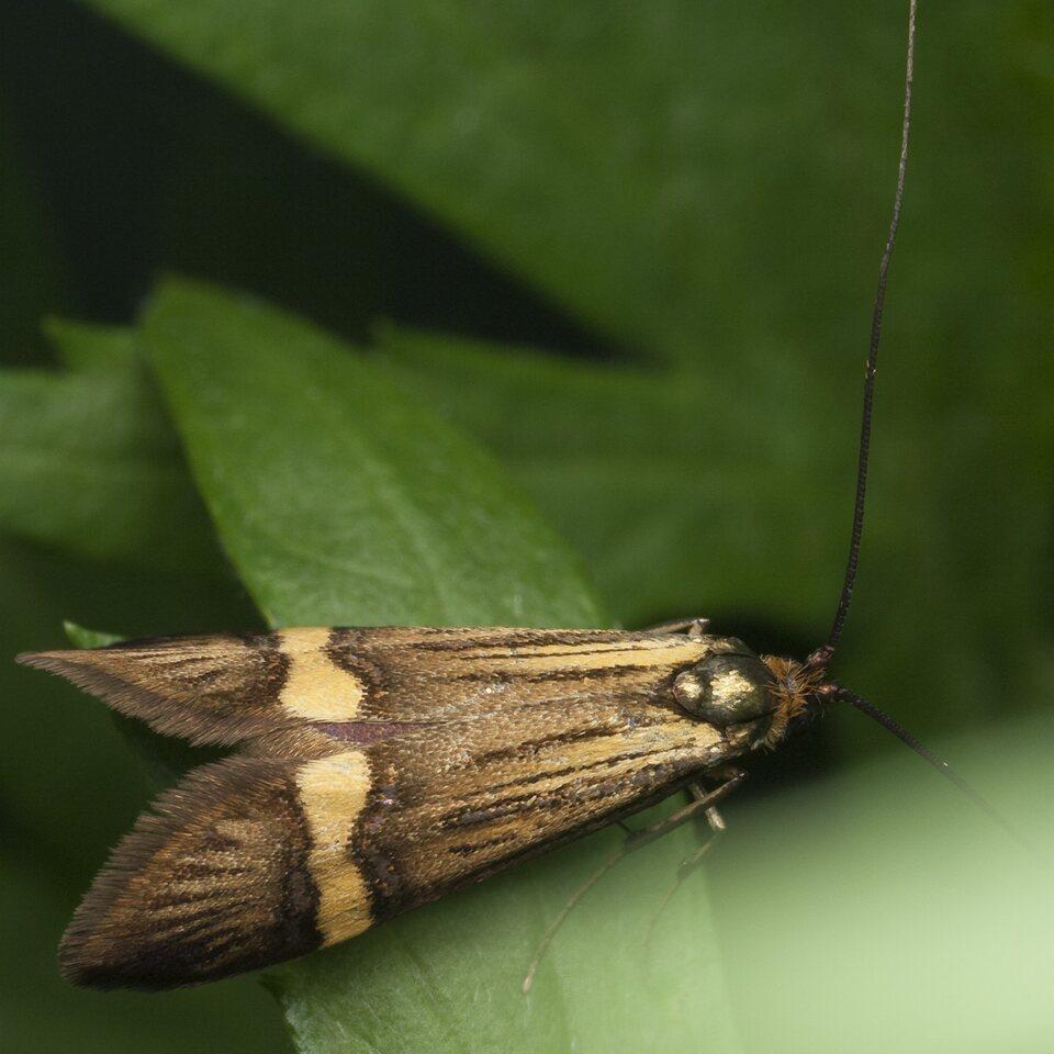 Nemophora-degeerella-1045.jpg