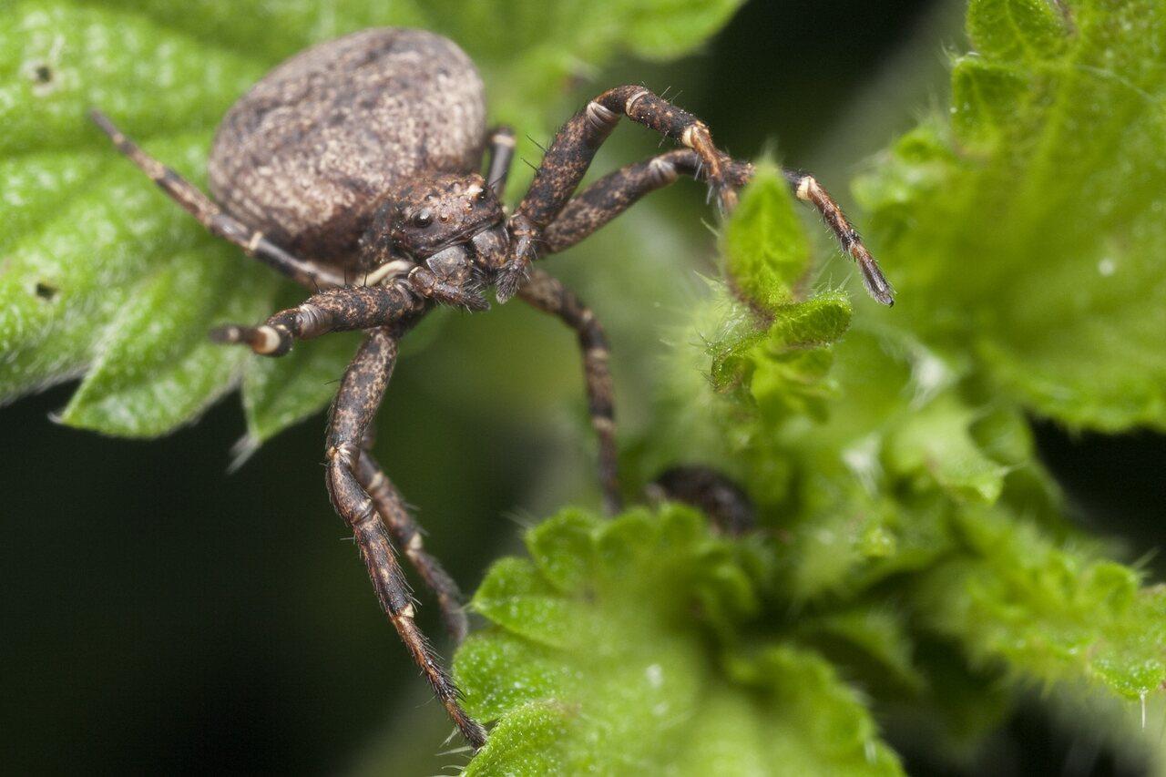 Thomisidae-1052.jpg