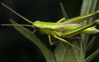 Euthystira brachyptera, male · trumpasparnis skėriukas ♂