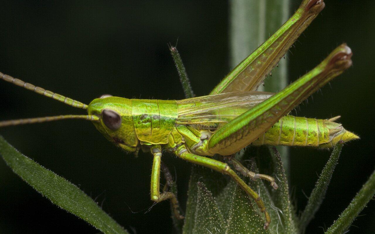 Euthystira-brachyptera-1058.jpg