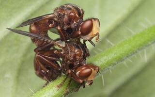 Conopidae · lenktapilvės musės