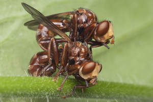 Sicus ferrugineus mating · lenktapilvės musės poruojasi