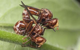 Sicus ferrugineus copula · lenktapilvės musės poruojasi