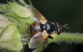 Gymnosoma clavatum female · dygliamusė ♀