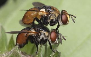 Gymnosoma clavatum mating · dygliamusės poruojasi