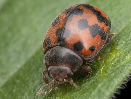 Subcoccinella vigintiquatuorpunctata · dvidešimtketurtaškė boružė