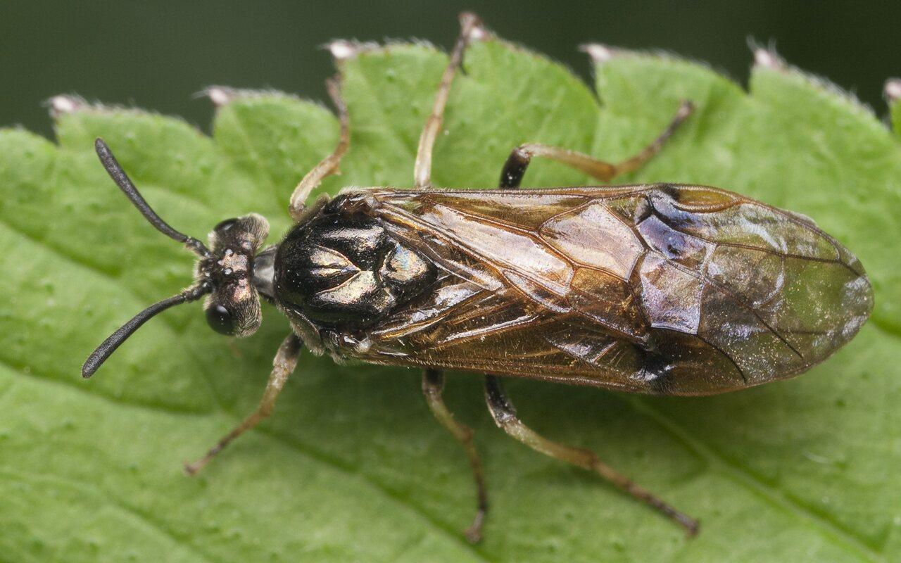 Hymenoptera-1083.jpg