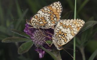 Melitaea phoebe · didžioji šaškytė