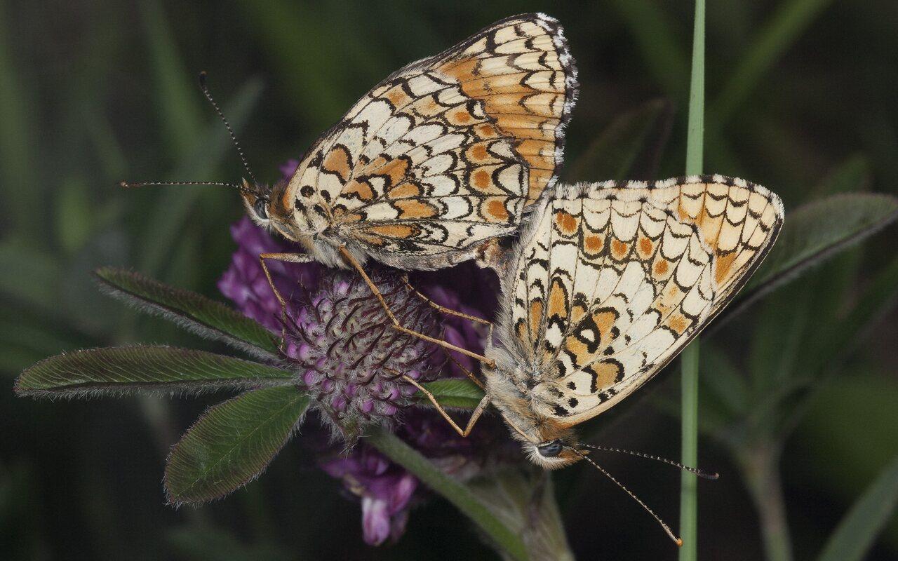 Melitaea-phoebe-1108.jpg