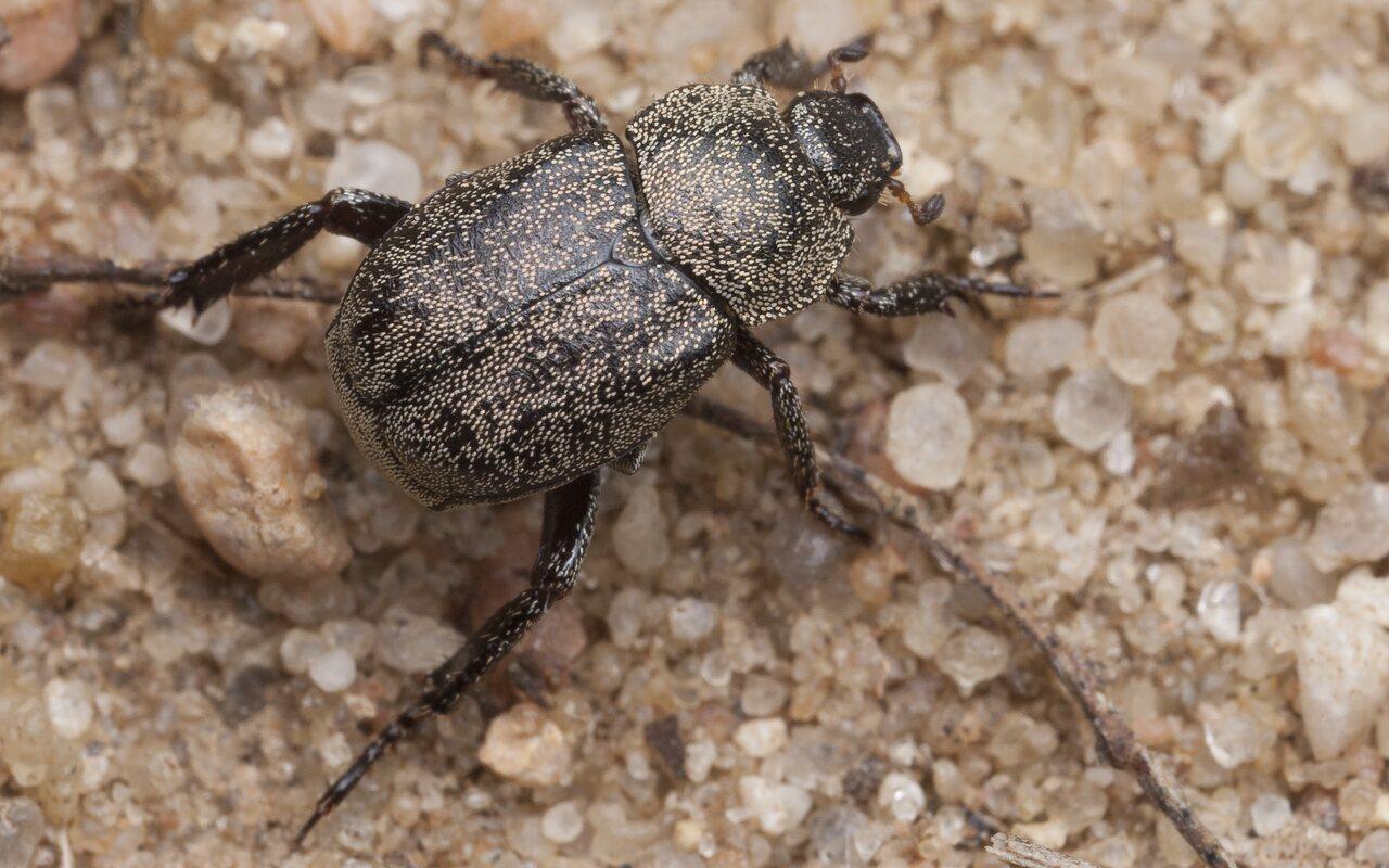 Hoplia-graminicola-1121.jpg