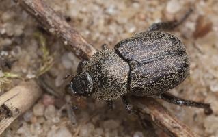 Hoplia graminicola · žolinis grambuoliukas