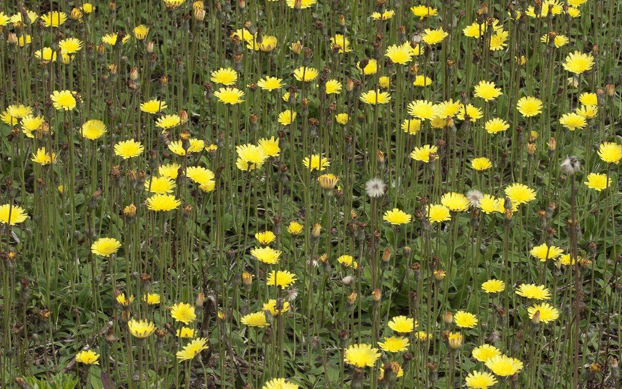Asteraceae-1127.jpg