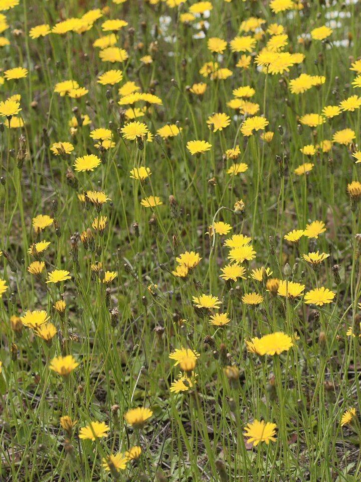 Asteraceae-1128.jpg