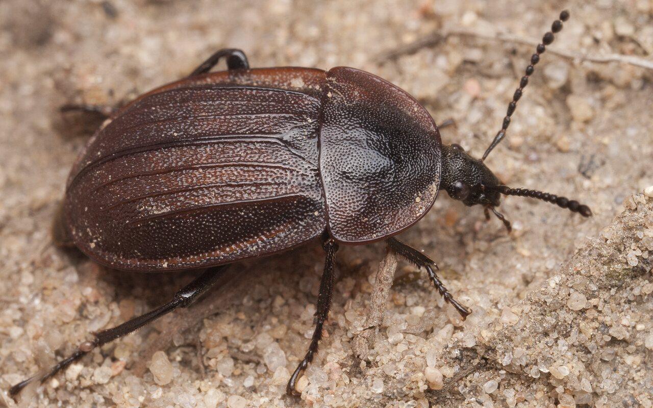Phosphuga-atrata-1141.jpg