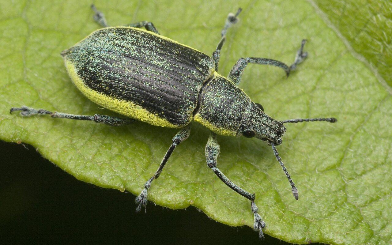 Chlorophanus-viridis-1153.jpg