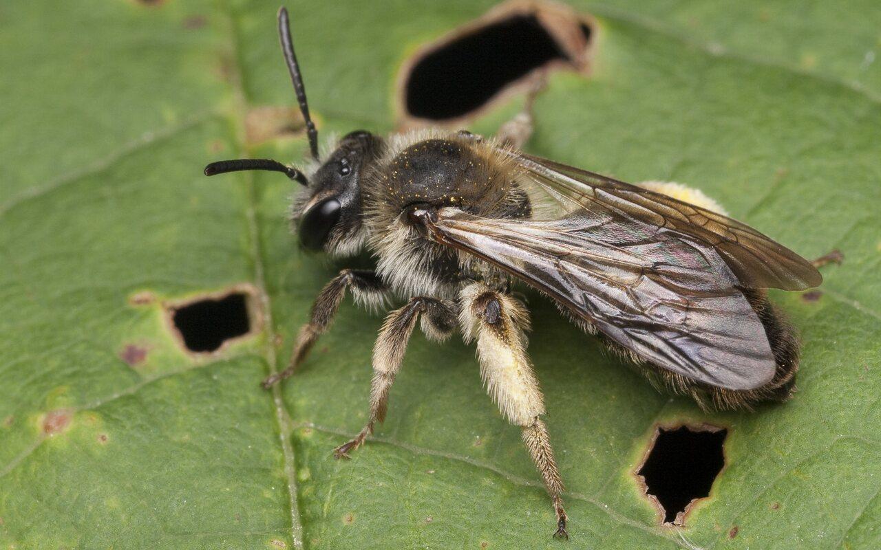 Apidae-1159.jpg