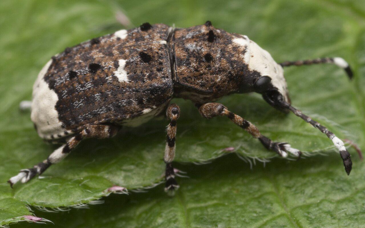 Platystomos-albinus-1166.jpg