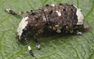 Platystomos albinus · paprastasis netikrastraublis