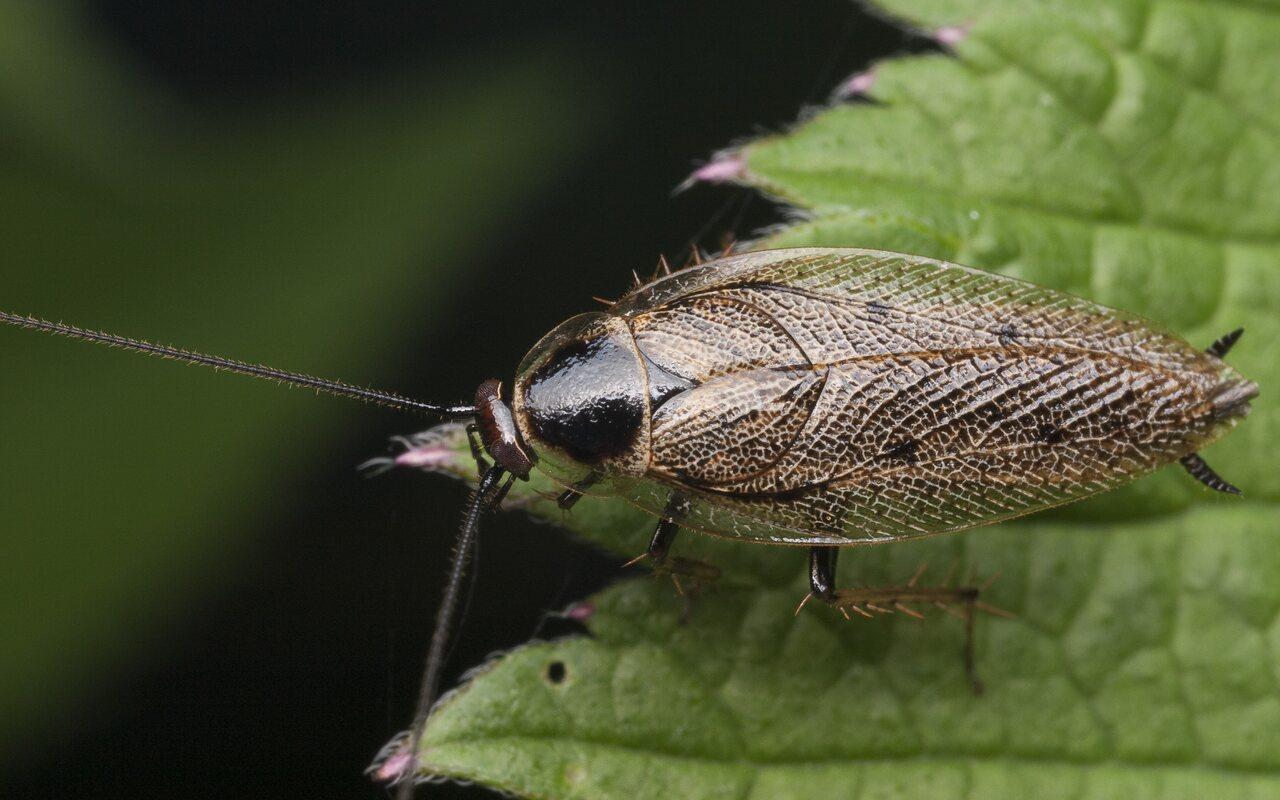 Ectobius-lapponicus-1176.jpg