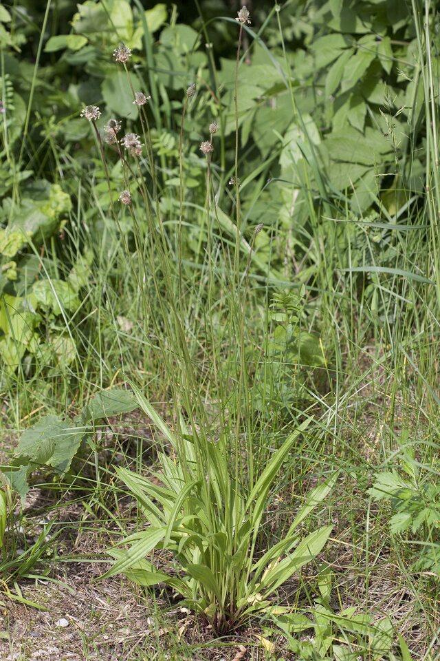 Plantago-lanceolata-1177.jpg
