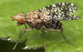 Sciomyzidae · musės sraigžudės