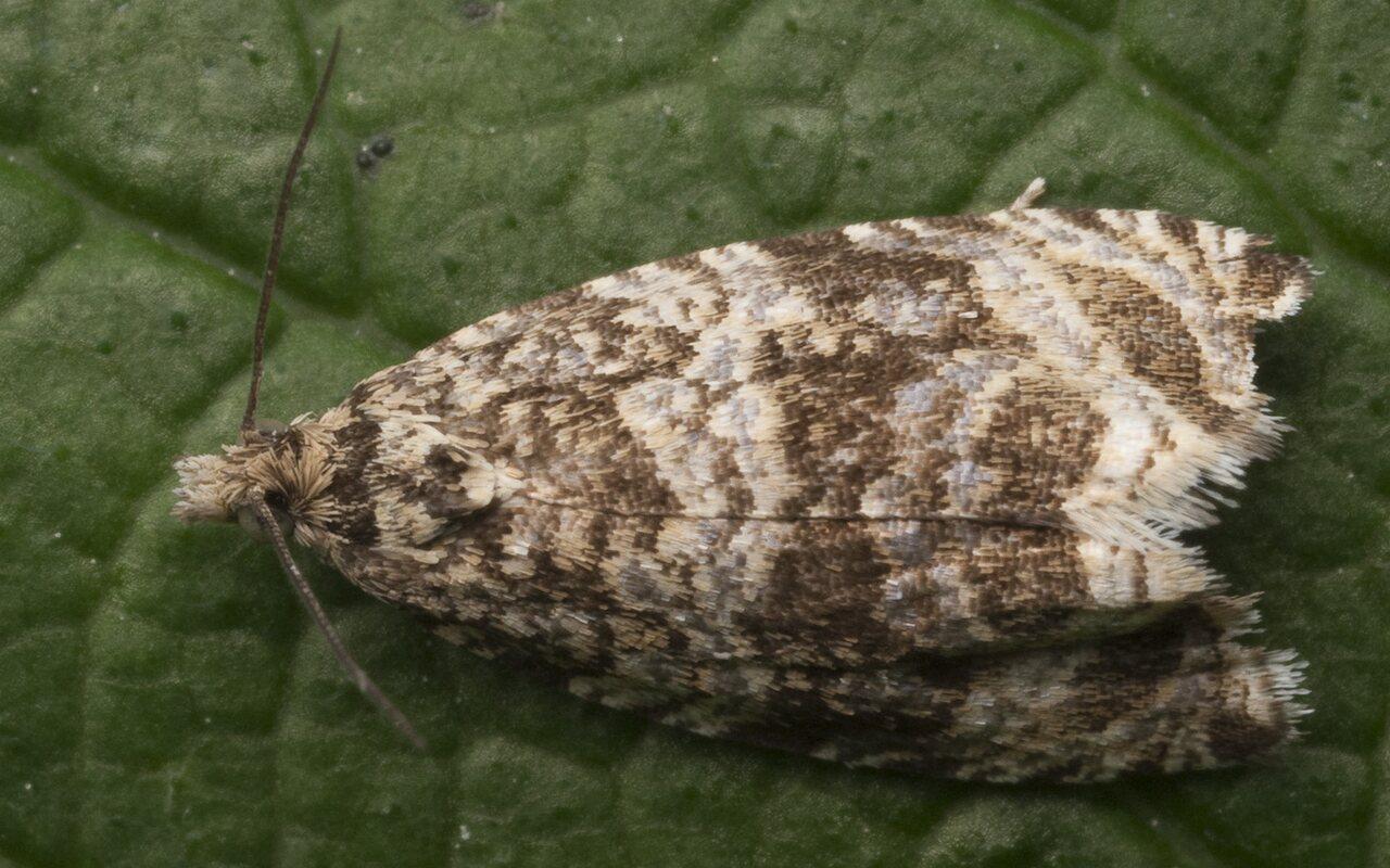 Celypha-lacunana-1184.jpg