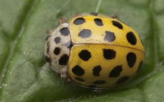 Psyllobora vigintiduopunctata · dvidešimtdvitaškė boružė